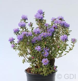 Rhododendron intricatum 20-25cm - Alpenrose - Vorschau