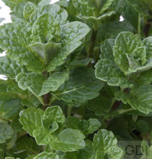 Spanische Grüne Minze - Mentha spicata - Vorschau