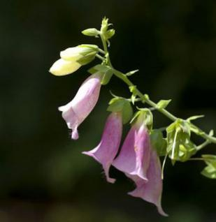 Fingerhut Apricot - Digitalis purpurea - Vorschau