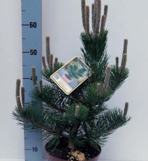 Österreichische Schwarzkiefer Select 30-40cm - Pinus nigra - Vorschau