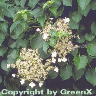 Kletter Hortensie 100-125cm - Hydrangea petiolaris - Vorschau