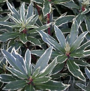 Wildform Rhododendron Variegatum 50-60cm - Rhododendron ponticum Variegatum - Vorschau