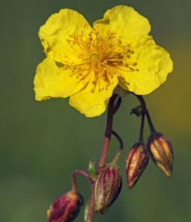 Gelbes Sonnenröschen Evergreen - Helianthemum nummularium - Vorschau