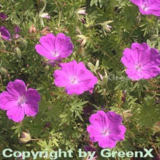 Storchenschnabel Elsbeth - Geranium sanguineum - Vorschau