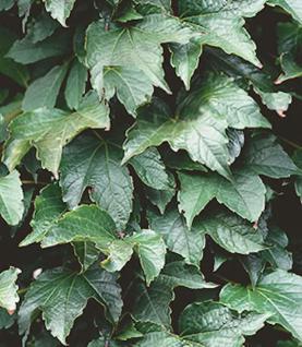Jungfernrebe Green Sping 100-125cm - Parthenocissus tricuspidata - Vorschau