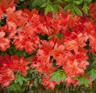 Azalee Lady Roseberry 40-50cm - Rhododendron luteum - Alpenrose - Vorschau