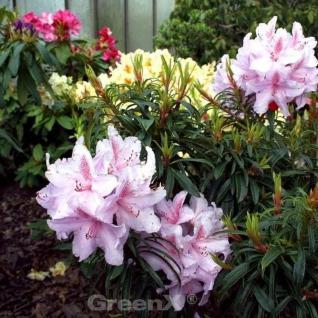 Großblumige Rhododendron Filigran 40-50cm - Alpenrose - Vorschau