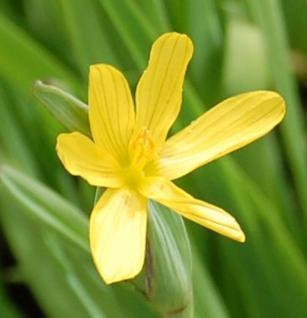 Gelbe Binsenlilie - Sisyrinchium californicum - Vorschau