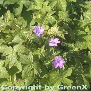 Knotiger Schatten Storchschnabel - Geranium nodosum - Vorschau