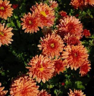Winteraster Bronzekrone - Chrysanthemum hortorum - Vorschau