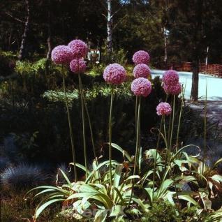 Riesenlauch Ambassador - Allium giganteum - Vorschau