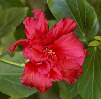 Garteneibisch Freedom 40-60cm - Hibiscus - Vorschau