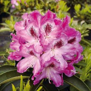 Großblumige Rhododendron Helen Martin 40-50cm - Alpenrose - Vorschau