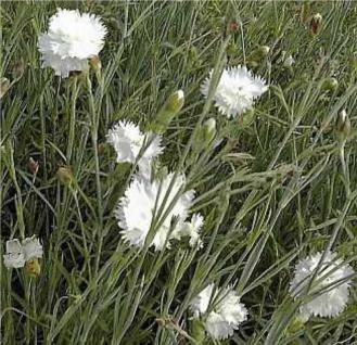 Federnelke Albus Plenus - Dianthus plumarius - Vorschau