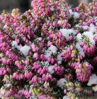 10x Winterheide Winterfreude - Erica carnea - Vorschau