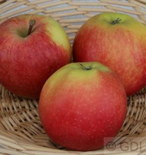 Apfelbaum Gala 60-80cm - saftig und süß Lagerapfel - Vorschau