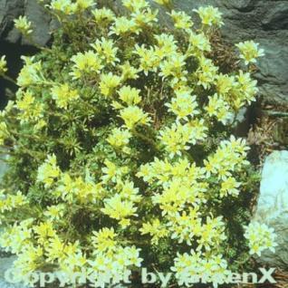 Moos Steinbrech - Saxifraga apiculata - Vorschau
