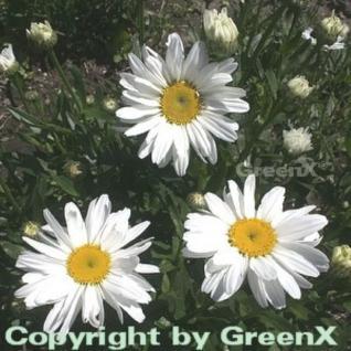 Gartenmargerite Becky - Leucanthemum
