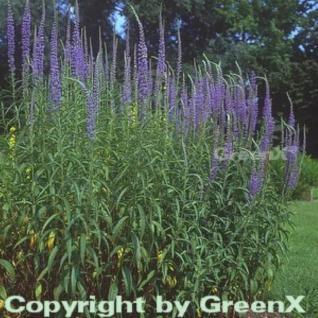 Hoher Wiesenehrenpreis - Veronica longifolia - Vorschau