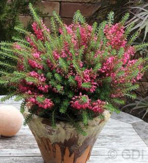 10x Cornwallheide Red Delight - Erica vagans - Vorschau