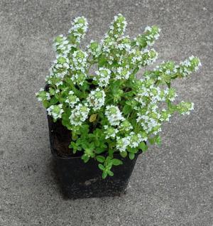 Zitronenquendel Albus - Thymus serpyllum - Vorschau