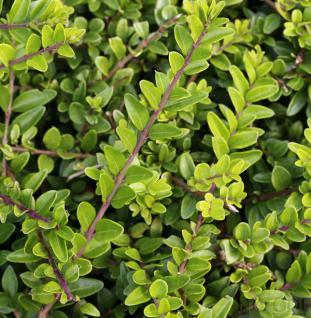 10x Heckenmyrte Maigrün 15-20cm - Lonicera nitida - Vorschau