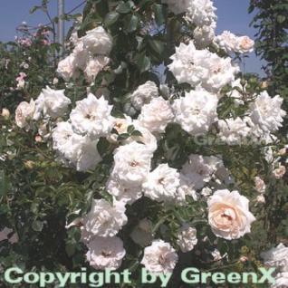 Kletterrose Penny Lane® 30-60cm - Vorschau