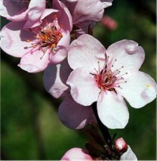 Eßbare Blutpflaume 60-80cm - Prunus cerasifera - Vorschau