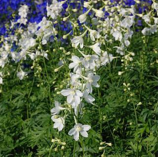 Rittersporn Casa Blanca - Delphinium belladonna - Vorschau