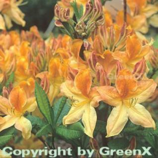 Azalee Golden Flare 40-50cm - Rhododendron luteum - Alpenrose