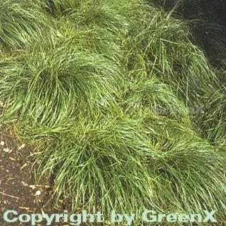 Schattensegge - Carex umbrosa - Vorschau