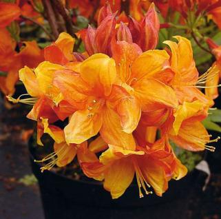 Azalee Sunny Boy 40-50cm - Rhododendron luteum - Alpenrose