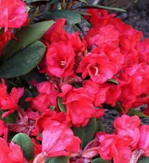 Azalee Burletta 30-40cm - Rhododendron neriiflorum - Alenrose - Vorschau