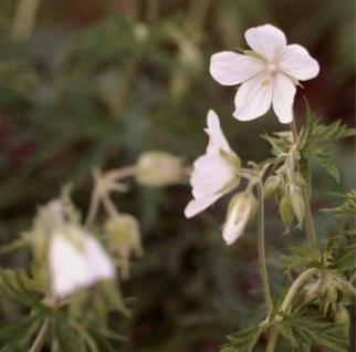 Storchenschnabel Saint Ola - Geranium cantabrigiense - Vorschau