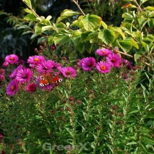Rauhblattaster Crimson Brocade - Aster novae angliae - Vorschau