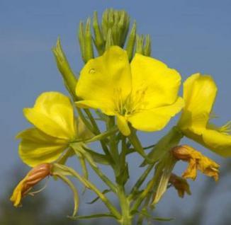 Nachtkerze Erica Robin - Oenothera tetragona - Vorschau