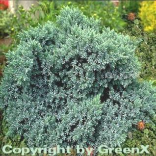 Blauer Sternwacholder 10-15cm - Juniperus squamata - Vorschau