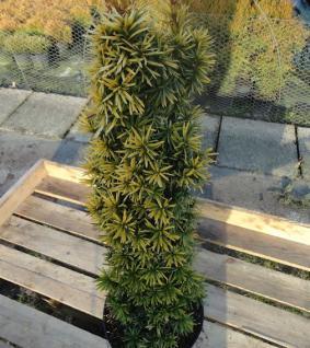 Gelbe Säulen Eibe Standishii 30-40cm - Taxus baccata - Vorschau