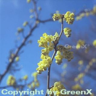 Ährige Scheinhasel 40-60cm - Corylopsis spicata - Vorschau