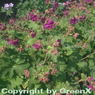 Balkanstorchschnabel Czakor - Geranium macrorrhizum - Vorschau