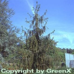 Schlangenfichte 125-150cm - Picea abies - Vorschau