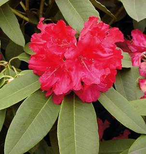 Großblumige Rhododendron Britannia 40-50cm - Alpenrose - Vorschau