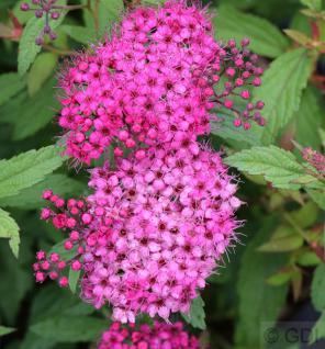 Roter Sommerspierstrauch Anthony Waterer 20-30cm - Spiraea japonica