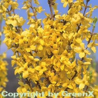 Hochstamm Forsythie Minigold 100-125cm - Forsythia intermedia - Vorschau