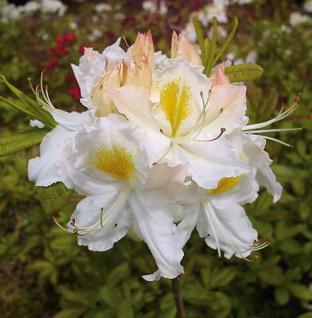 Azalee Schneegold 40-50cm - Rhododendron luteum - Alpenrose - Vorschau