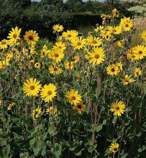 Weidenblättrige Sonnenblume Table Mountain - Helianthus salicifolius - Vorschau