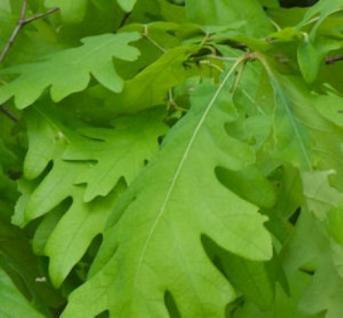 Oregon Eiche 60-80cm - Quercus garryana - Vorschau