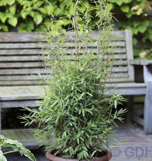 Kugeliger Gartenbambus Volcano 60-80cm - Fargesia nitida - Vorschau