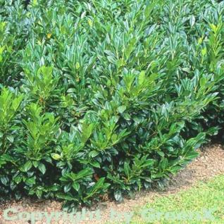 Lorbeerkirsche Van Nes 40-60cm - Prunus laurocerasus - Vorschau