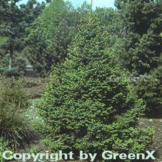 Zwergfichte 70-80cm - Picea omorika Nana - Vorschau